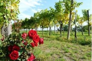 Bulgarije was de 4e grootste wijnproducent in de jaren '70 ...
